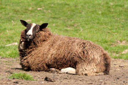 ovine: Zwartbles ewe resting in a field. She needs shearing