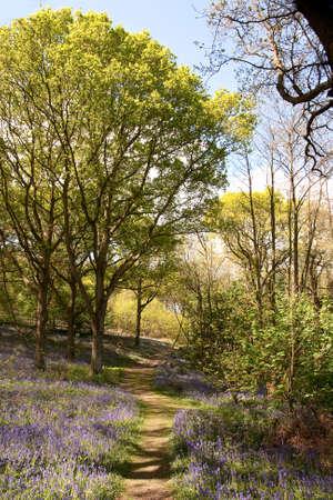 Woodland path through bluebells in Sussex photo
