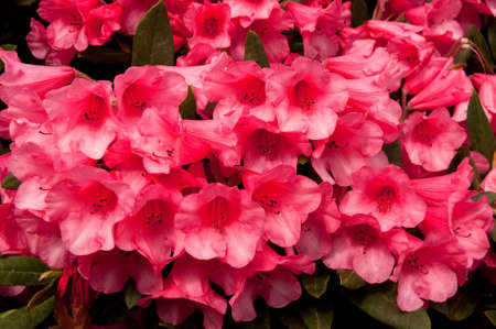 Deep pink, almost red rhododendron blossom Stock Photo