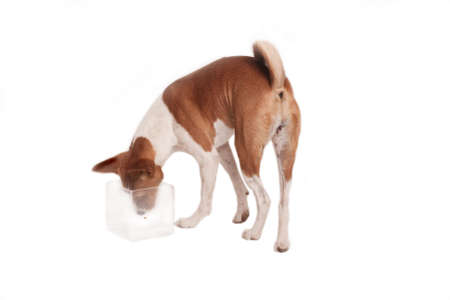 finds: Basenji pet finds treat in glass vase