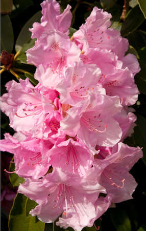 pink rhododendron blossom with huge florets Stock Photo - 4885748