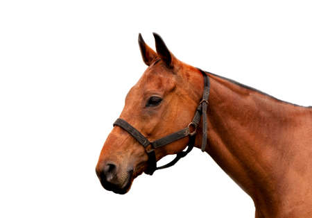 Isolate head of a cobbed horse with partial harness photo