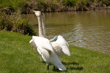 whooping: Pair of whooper swans prancing and whooping on land