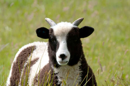Spring Jacob lamb in long grass photo