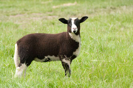 Jacob lamb with budding horns standing in grass photo