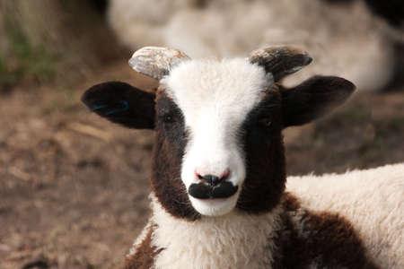 ovine: Emergeant horns on a young Jacob Sheep