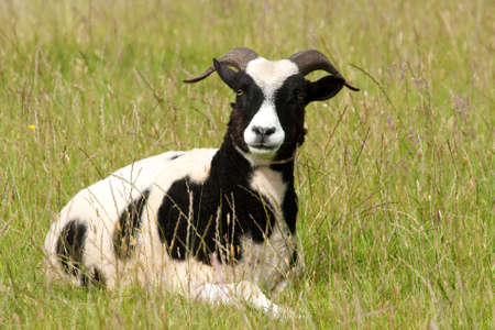 Jacob ewe, recently sheared, chewing as she lies in spring grass photo