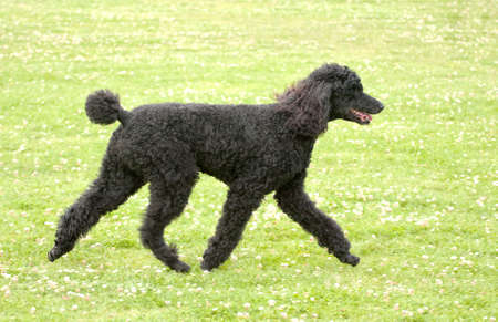 unclipped black poodle gaiting at speed across grass Stock Photo