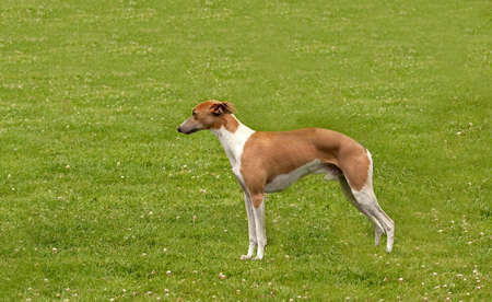 Whippet stacked on grass Stock Photo