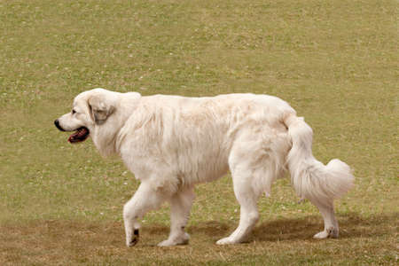 pyrenean mountain dog: Pyrenean mountain dog moving slowly across a field Stock Photo