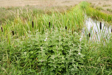 bulrushes: View of  the Sussex marshes with bulrushes and wild mallow Stock Photo