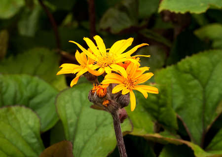 Ligularia flowers in sharp contrast to the leaves of the same plant Stock Photo