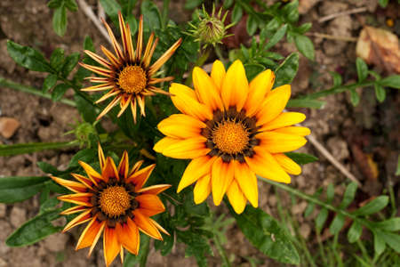 Gazania flowers at different stages of development on the same plant Stock Photo - 5227952
