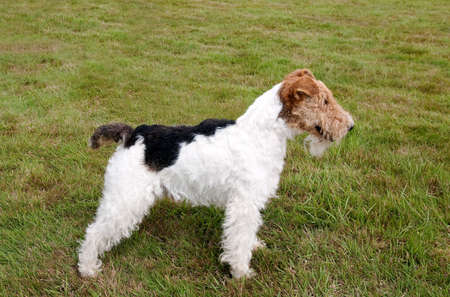 Wire Haired Fox Terrier posing for the camera