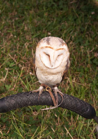 tethered: Barn-owl tethered to his perch Stock Photo