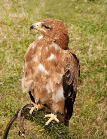 tethered: Tethered hawk looking regal