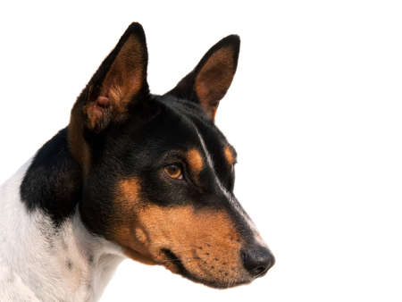 Isolated head of a tricolored Hound photo