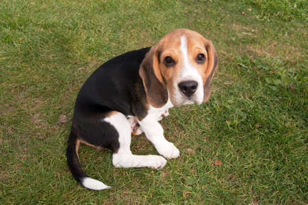 mournful: Young Beagle puppy out for a sit-down