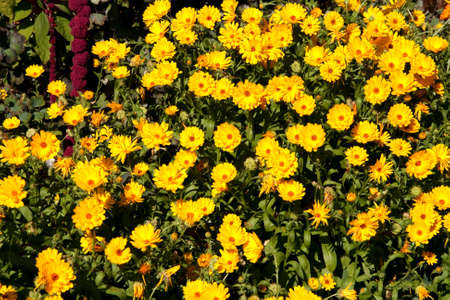 summertime flowers - a bed of orange marigolds photo