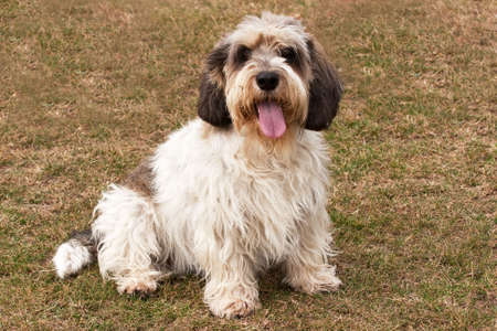 Petit Basset Griffon Vendeen alert and with tongue out