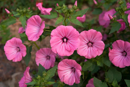 unblemished: unblemished mallow flowers with the focus on the center flower