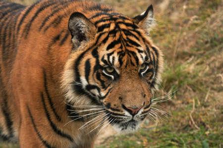 Head and face of a magnificent sumatran tiger photo