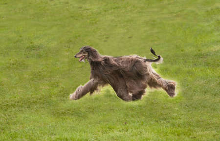Afghan hound at full stretch across a field photo