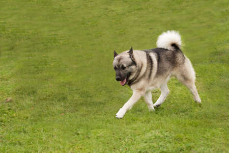 Buhund striding out elegantly across the grass