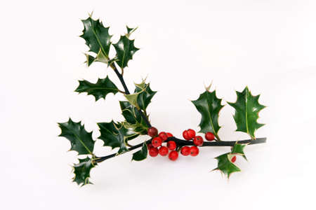 berries along the stalk of a piece of holly