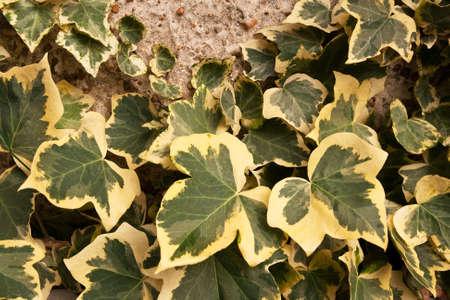 variegated: Variegated ivy climbing up a pebble-dash wall