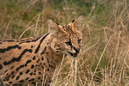 hesitant: Hesitant Serval cat apparoaching with mouth open