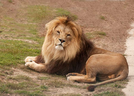 watchful: large male lion resting while remaining watchful Stock Photo