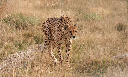 lithe: Cheetah moving slowly and purposefully forwards Stock Photo