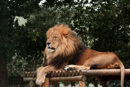 staging: Magnificent lion sleeping on his staging Stock Photo