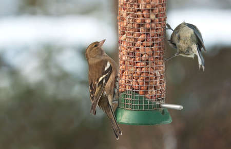 chaffinch: Female chaffinch and blue-tit sharing peanuts Stock Photo