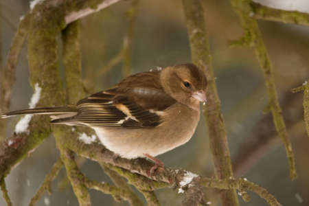 chaffinch: chaffinch perched on snow-covered bough with snow falling around her Stock Photo