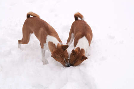 Dogs hunting through deep snow for hidden treats Stock Photo - 6227069