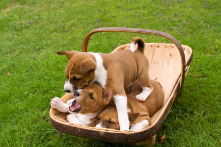 Three puppies have found a trug to sleep in but one wants out
