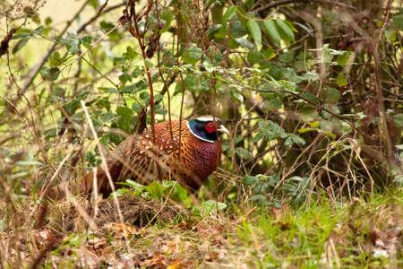 undergrowth: Cock pheasant strutting through the undergrowth