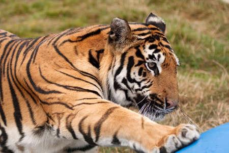 sumatran: Sumatran Tiger reaching out for a drum