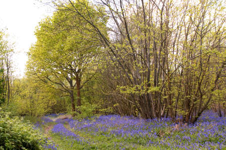 bluebell woods: Pathway through bluebell woods in Sussex