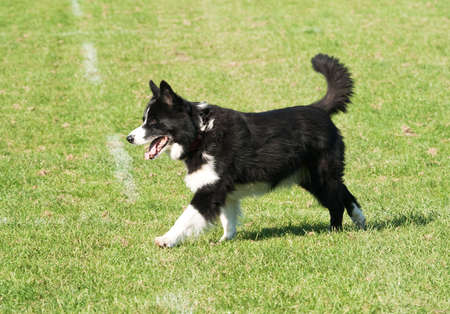 striding: Panting collie dog striding across field