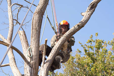 dead tree: Man wearing safety harness and ropes as he saws through a dead tree