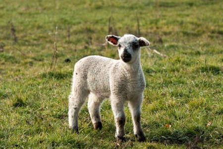 mottle: Mottle agnello giovane di fronte in primavera precoce  Archivio Fotografico