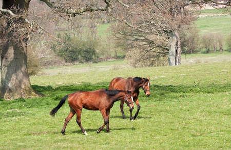 blazes: two mares ambling across a field under bare oaktrees in a winter landscape