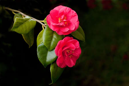 Perfect red camellias at the end of a branch