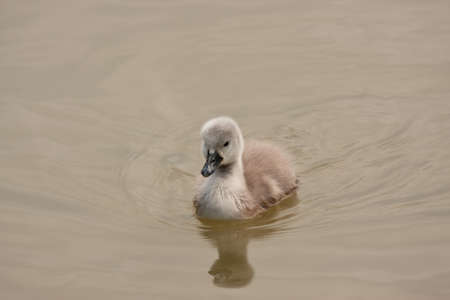 Very young swan, a fluffy cygnet reflected on the lake photo