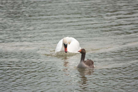 dominion: Male swan swimming at speed to chase off a greylag from his territory