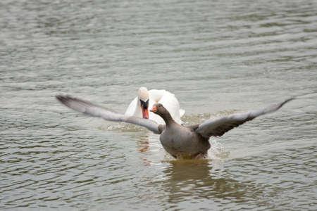 decide: ganso de Anser decide volar desde el cisne amenazante