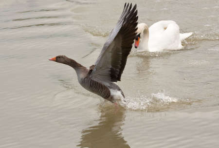 animosity: Male swan encourages grey-lag goose to leave his territory
